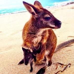 australia - wallabies