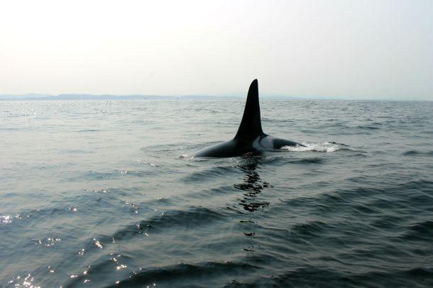 Orca watching, Richmond BC