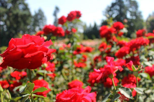 Portland's rose garden in Washington Park